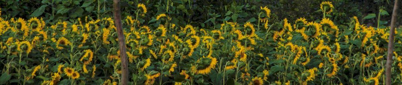 Zonnebloemen Nuenen